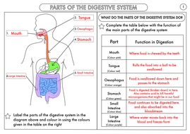 Year 4 Science Animals Including Humans Digestion Teeth And Food