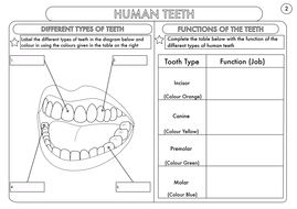 Year 4 science animals including humans digestion teeth and food year 4 human teethpdf ccuart Images
