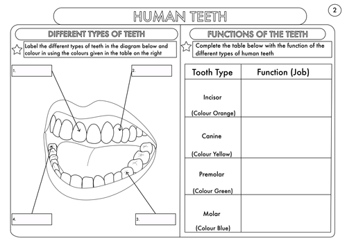 Year 4 science animals including humans digestion teeth and food year 4 science animals including humans digestion teeth and food chains worksheets by beckystoke teaching resources tes ccuart Images