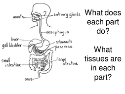 Digestive system, digestion, enzymes creative writing AfL