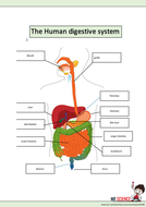 the-human-digestive-system.docx
