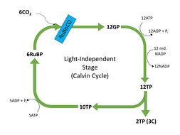 56 photosynthesis lesson 3 light independent stage reaction ocr calvin cycle diagrampptx ccuart Gallery