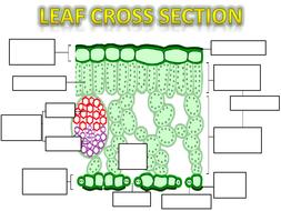 Leaf-structure-amc-ps2.pdf