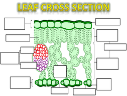 Leaf-structure-amc-ps2.pptx