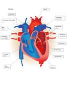Edexcel New GCSE PE 9-1. Heart Diagrams. by tom1414 ...