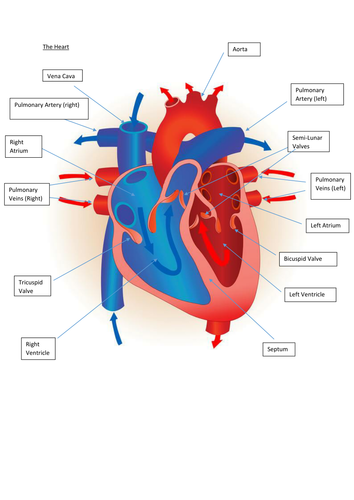 Edexcel new gcse pe 9 1 heart diagrams by tom1414 teaching edexcel new gcse pe 9 1 heart diagrams by tom1414 teaching resources tes ccuart Choice Image