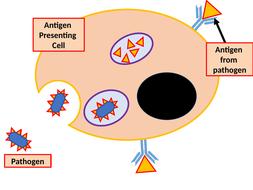 Cell-mediated-model-bits.pptx
