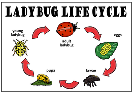 ladybugs life cycle teaching resources science insects minibeasts