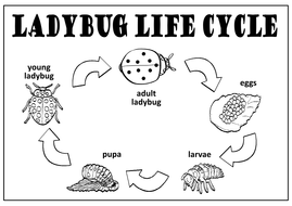 LADYBUGS LIFE CYCLE TEACHING RESOURCES SCIENCE INSECTS