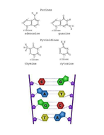 Nucleotide-Diagrams.docx
