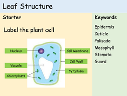 KS3 Plants - Lesson 1 - Structure of a Leaf.pptx