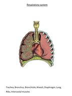 Structure of respiratory system gcseas by jeffsstarscience structure of respiratory system gcseas ccuart Choice Image