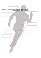 muscular-system.docx