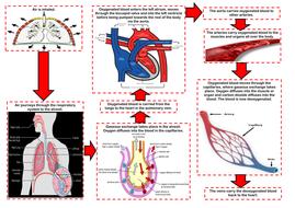 Edexcel 9 1 gcse pe the respiratory system how the cv edexcel 9 1 gcse pe the respiratory system how the cv respiratory ccuart Choice Image