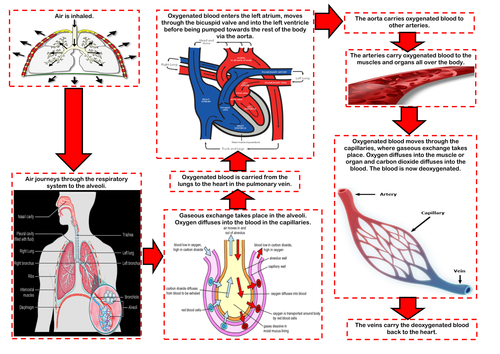Edexcel 9 1 gcse pe the respiratory system by missbutterworthpe edexcel 9 1 gcse pe the respiratory system by missbutterworthpe teaching resources tes ccuart Gallery