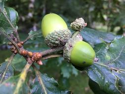 acornsontree.jpg