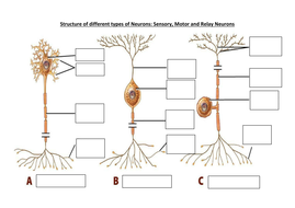 Types of neurons and synaptic transmission as biopsychology year lesson 2 types of neurons diagram to ccuart Images