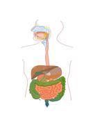 9.-Digestion-Worksheet-TES.docx