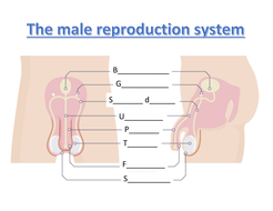 Male-repro-system-worksheet.docx