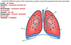Respiratory system diagram label worksheets differentiated by zmzb respiratory system diagram label worksheets differentiated ccuart Choice Image