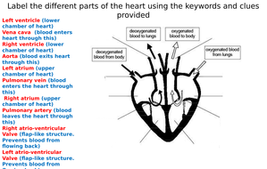 The Heart Diagram Label Worksheets (Differentiated)