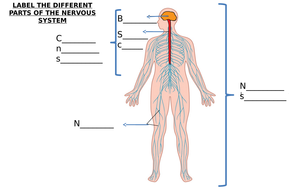 The Nervous System Worksheet - PromotiontablecoversPromotiontablecovers