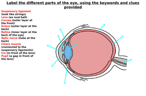 The Eye Diagram Label Worksheets (Differentiated)