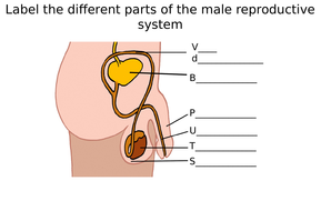 Male female reproductive system diagram label worksheets male reproductive system differentiates ws tespptx ccuart Image collections