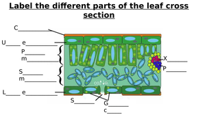 rose leaf diagram leaf cross section diagram label worksheets (differentiated) by zmzb | teaching resources label a leaf diagram