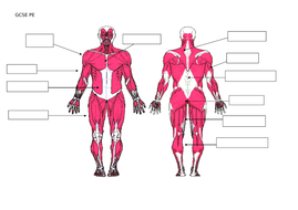 GCSE PE - Muscular System by rileyp_86 | Teaching Resources