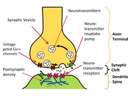 Answers_-Synapse-Label.pdf