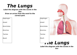 Ks3 gas exchange by ak00190 teaching resources tes structure of the lungs lower abilitycx ccuart Image collections