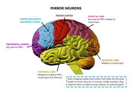 Mirror neurons brain diagram a2 psychology by beckyylouise mirror neurons diagrampdf ccuart Images