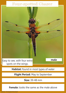Four-spotted-Chaser.pdf