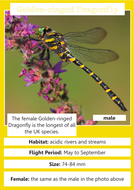 golden-ringed-dragonfly.pdf