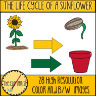 THE-LIFE-CYCLE-OF-A-SUNFLOWER-2.png