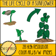 THE-LIFE-CYCLE-OF-A-SUNFLOWER-3.png