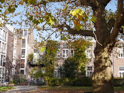 Plane tree with colored leaves on the ground - Amsterdam City in Fall; enf of October - 15.00 afternoon.JPG