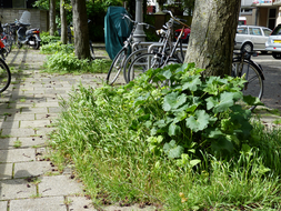photo  'A tree in company of young hollyhocks' and grass; Mid of May - c. 12 o'clock afternoon; Amsterdam city.jpg