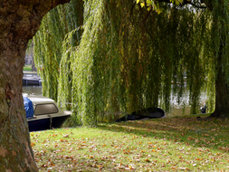 photo 'Companionship of a Plane tree (left) & a Weeping Willow' in Fall. Both love water & lot of space for light; Mid October - c. 11 o'clock morning; Amsterdam City.JPG