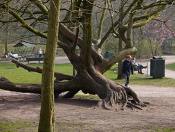 photo 'Well-known climbing tree in the Sarphati-park', with worn-out bark of the tree branches at the bottom, Mid March - 2 o'clock afternoon; Amsterdam.jpg