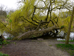 photo 'Weeping Willow goes on for many years already' - even in the water! Spring in the Vondelpark - early April - c. 3 o'clock afternoon; city Amsterdam.jpg