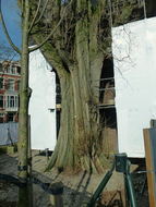 photo 'An adult poplar with its feet' standing  in a construction-place of the Rijksmuseum; early March - 2 o'clock afternoon; in Amsterdam center.jpg