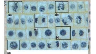 meiosis-ppt.pptx