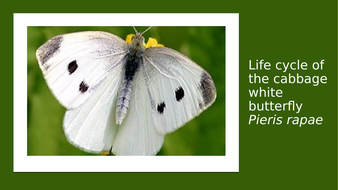 cabbage-white-butterfly.pptx