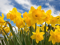 Wordsworth-daffodils-KS3.pptx
