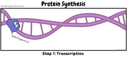 protein-synthesis-gif_orig.gif