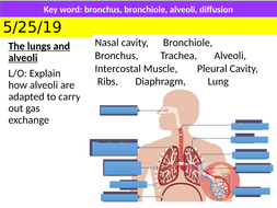 B4.5-Lungs-and-Alveoli.pptx
