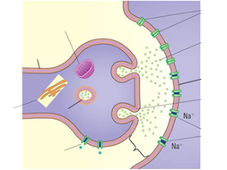 4.-The-Structure-and-Role-of-Synapses-Hand-out.ppt