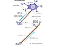 1.-Neuronal-Structure-Lesson-Resources.pptx
